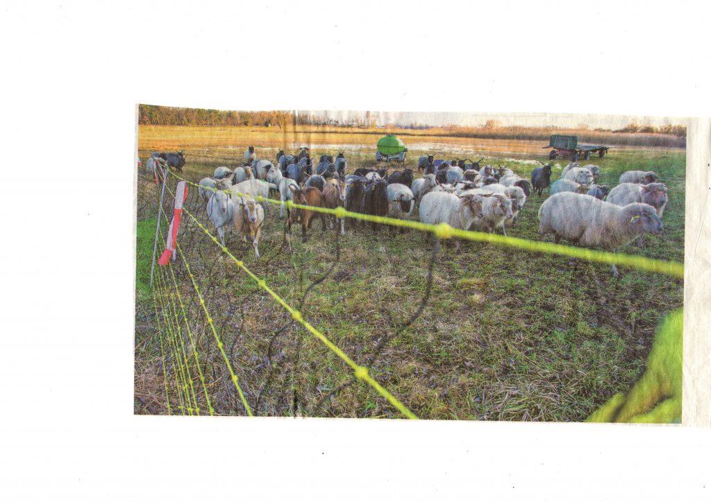 Ein gelber Elektrozaun soll die Schafe von Markus Metzger vor dem Wolf schützen.